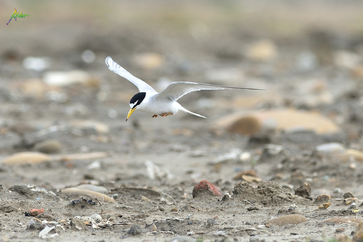 Little_Tern_2073