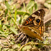 Common Buckeye butterfly by Stephen R. D. Thompson
