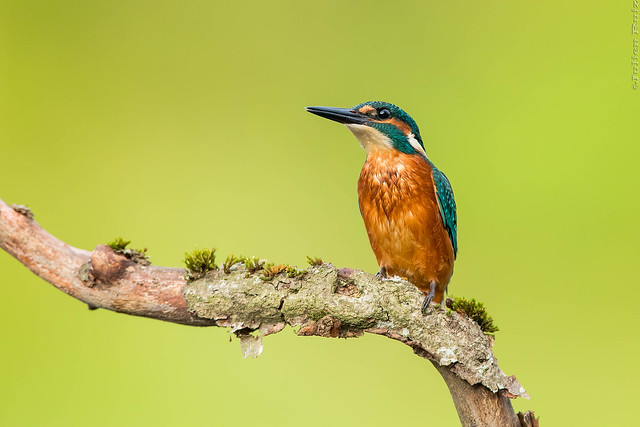 Martin-p cheur d'Europe Alcedo, Canon EOS-1D X MARK II, Canon EF 600mm f/4L IS
