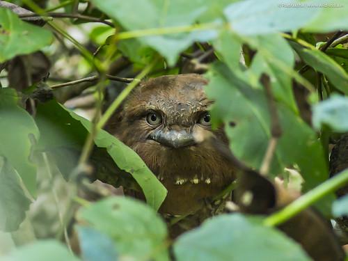 Srilankan Frogmouth