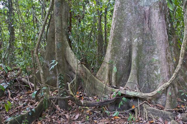 tree 0002 Corcovado, Osa peninsula, Costa Rica