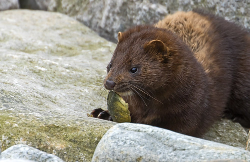 Mink (Rare and Wild) - Lunch on the rocks