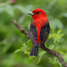 Scarlet tanager by Phiddy1