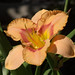 Hybrid daylily in the Sensory Patios, TBG by Distraction Limited