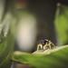 Gelbbeinige Sonnenspringspinne/Jumping Spider