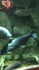 v2017 May 30, Fish Swimming in Aquarium at Bass Pro Shops Memphis