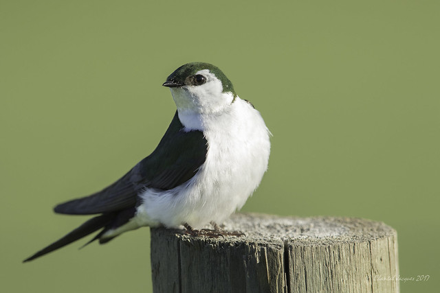 Happy Fence Friday- Violet Green Swallow Style