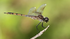 Four-spotted Pennant (female)- Holiday, Florida