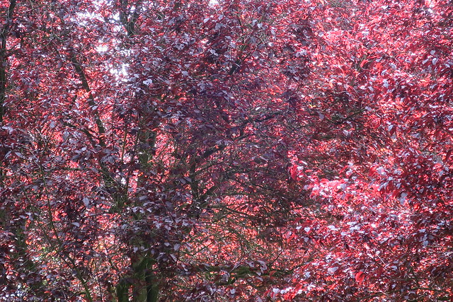 Red tree in the sun