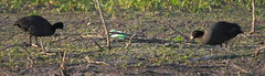 Common Coots (Fulica atra)