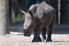 Little Rhino Walking Forward