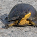 Blanding's turtle. by ricmcarthur