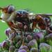 Gemeine Breitstirnblasenkopffliege (Sicus ferrugineus) kurz nach Sonnenaufgang