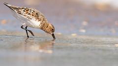 Sanderling. Ocracoke, NC