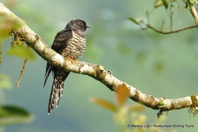 Black Cuckoo, gabonensis Buhoma