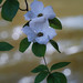 Pacific Dogwood