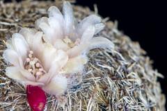 Epithelantha cryptic