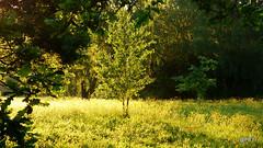 Dawn Tree.