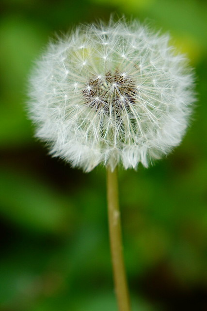 Seed head - Dandelion flower