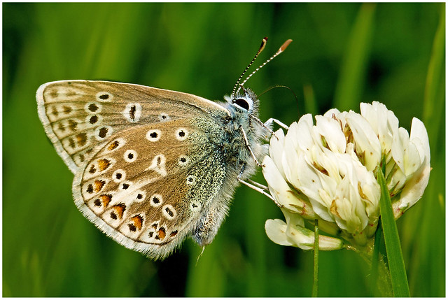 Common Blue Buttefly.