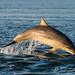 Bottlenose Dolphin Calf by cjdolfin