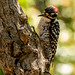 Nuttall's Woodpecker by Stephen R. D. Thompson