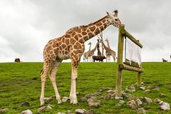Rothchild's Giraffe (Giraffa camelopardalis rothschildi)