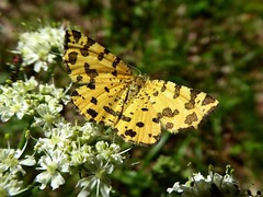 Panthère - Speckled Yellow