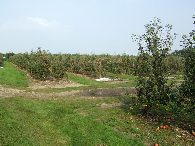 Orchard near Upchurch