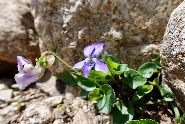A violet