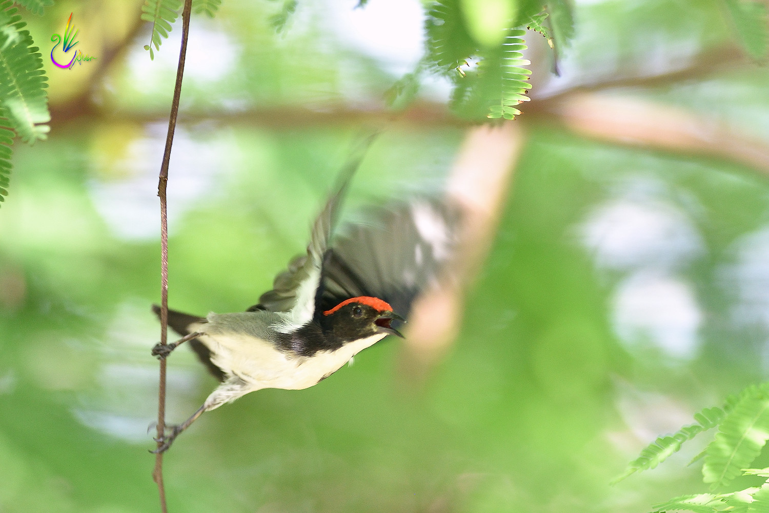 Scarlet-backed_Flowerpecker_8959