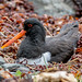JWL9230a  Oystercatcher.. by jefflack Wildlife&Nature
