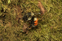 Bombus melanopygus ♀ (Black-tailed Bumble Bee) - Everett, WA