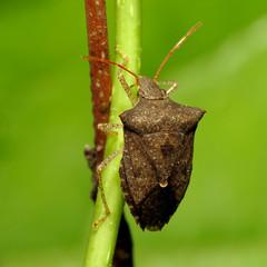 Dusky Stink Bug