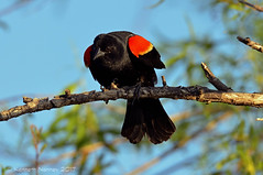 RED-WINGED BLACKBIRD 19