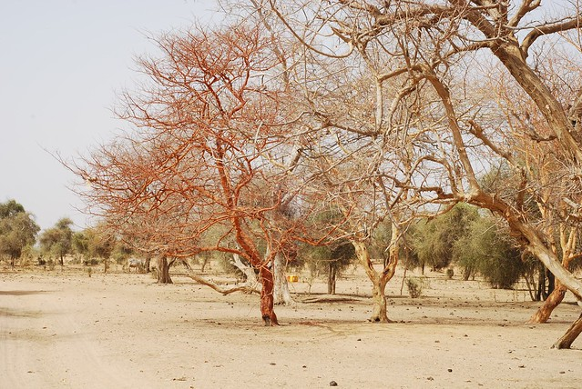 Header of Acacia senegal