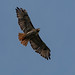 Red-tailed Hawk by A Great Capture