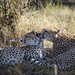 A mother cheetah grooming her 2 year old cub! by WhiteEye2