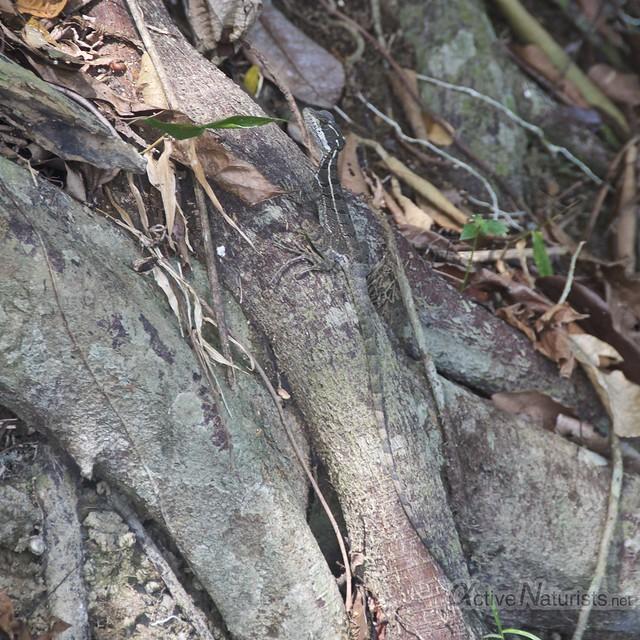 basilisc lizard 0003 Corcovado, Osa peninsula, Costa Rica