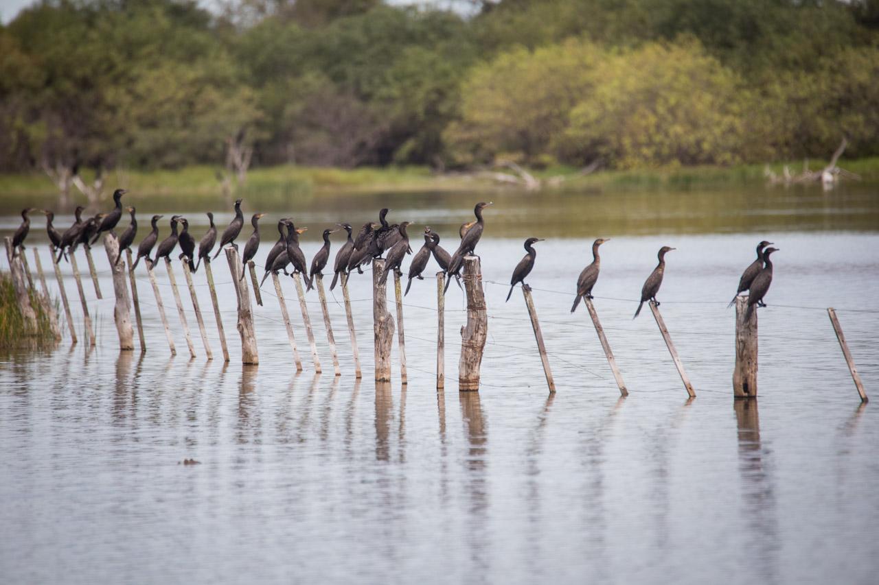 Los cormoranes (Phalacrocoracidae) se solean después de la pesca para poder secar sus alas. (Tetsu Espósito)