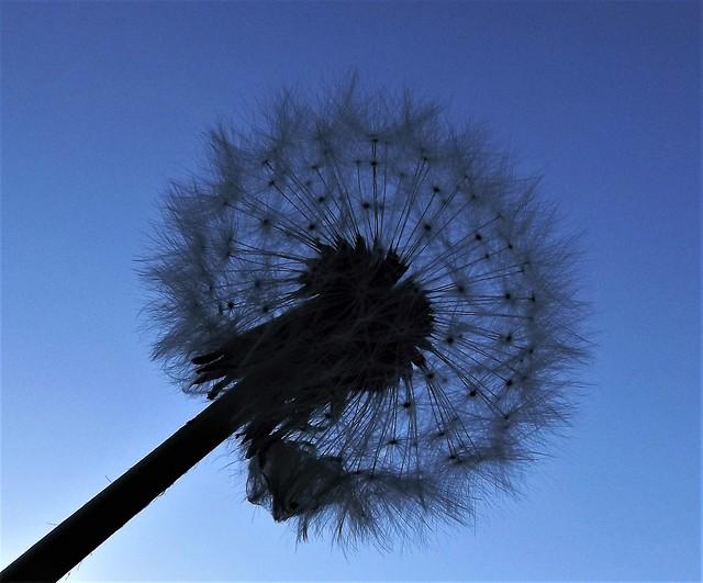 Dandelion In Silhouette.
