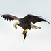 Bald Eagle With Catch  (Moraine State Park) by jim-dude