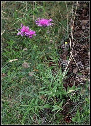 Centaurea scabiosa - centaurée scabieuse 35469876831_e4c6e7c5b3