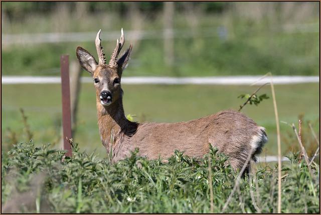 Roe Deer (image 2 of 2)