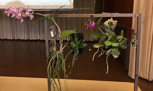 Barkeria spectabilis, Appendicula elegans, Cattleya guttata, and Zygostates alleniana
