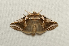 Habrosyne scripta (Lettered Habrosyne Moth) - Hodges # 6235 - Everett WA