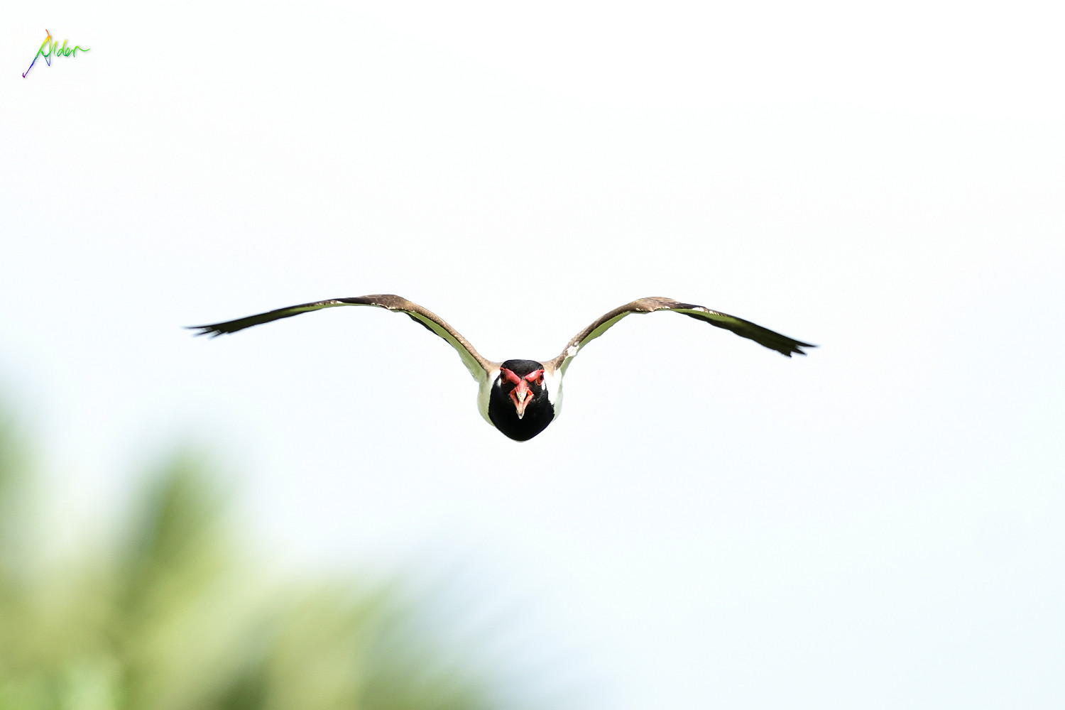 Red-wattled_Lapwing_1708