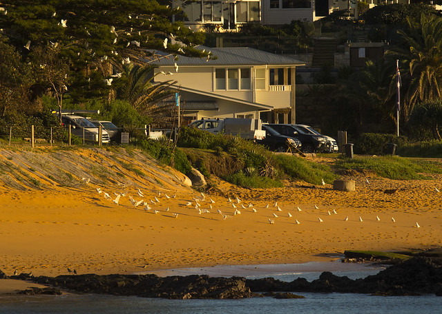 little corellas collaroy beach, Nikon D500, AF-S Nikkor 300mm f/4E PF ED VR