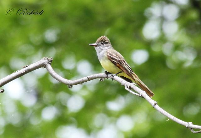 tyran huppé / great crested flycatcher