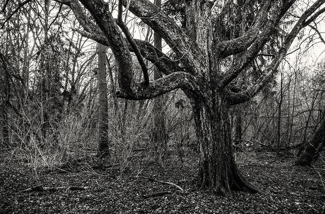 Old Chestnut tree, Pentax K-7, smc PENTAX-DA 18-55mm F3.5-5.6 AL WR